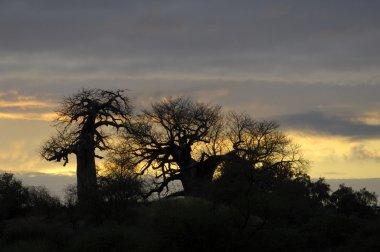 Baobab trees at sunrise