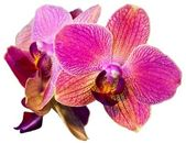 Fotografie Pink orchid isolated on the white background