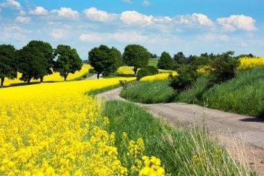 Field of rapeseed - brassica napus