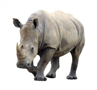 Huge rhino isolated on white background