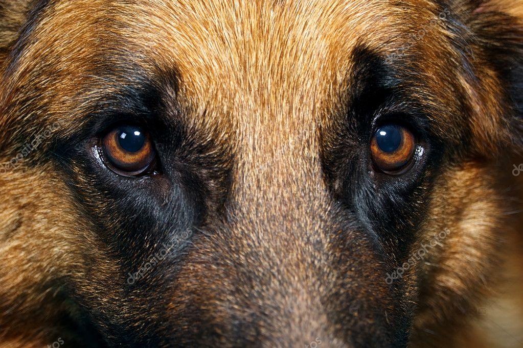 Close up of German Shepherd Dog eyes