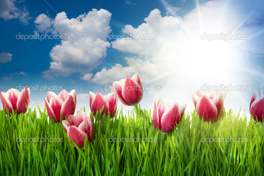 Grass and Pink Tulip's Flowers against blue sky and sun