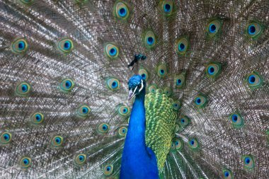 Peacock spreading tail feather