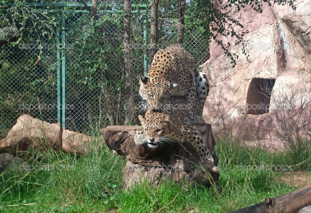 Leopards mate