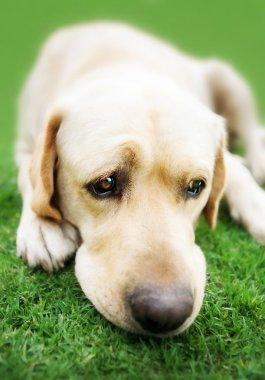 Labrador retriever on grass (Adobe RGB)