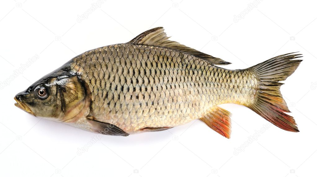 Common Carp Isolated on White Background