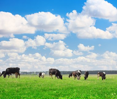 Cows grazing on meadow under blue cloudy sky stock vector