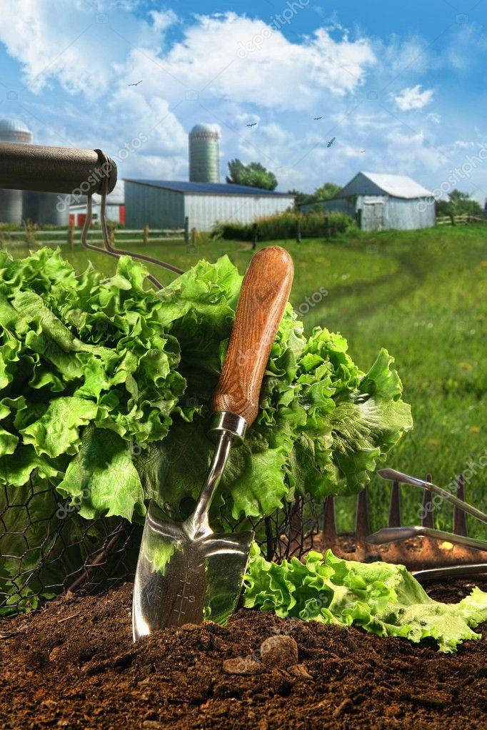 Basket of lettuce in garden