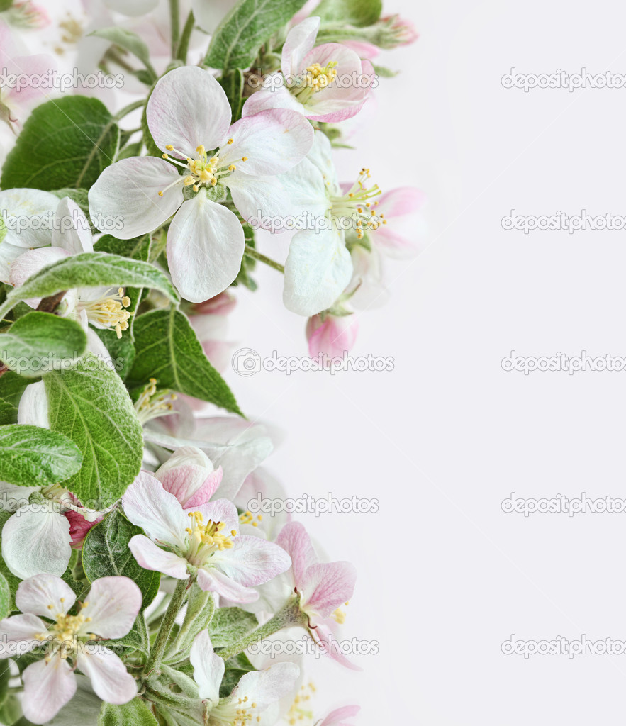 Spring apple blossoms on pink white background