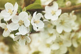 Fotografie Apple blossoms in Spring