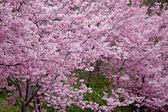 třešňových květů v plném květu