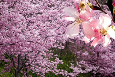 Sakura for background or texture use