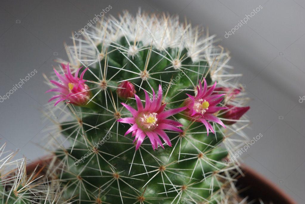 Cactus Avec Fleur Rose Photographie Galadon C 10156471