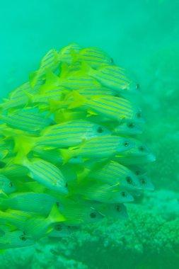 Shoal of Bluestripe snapper fish