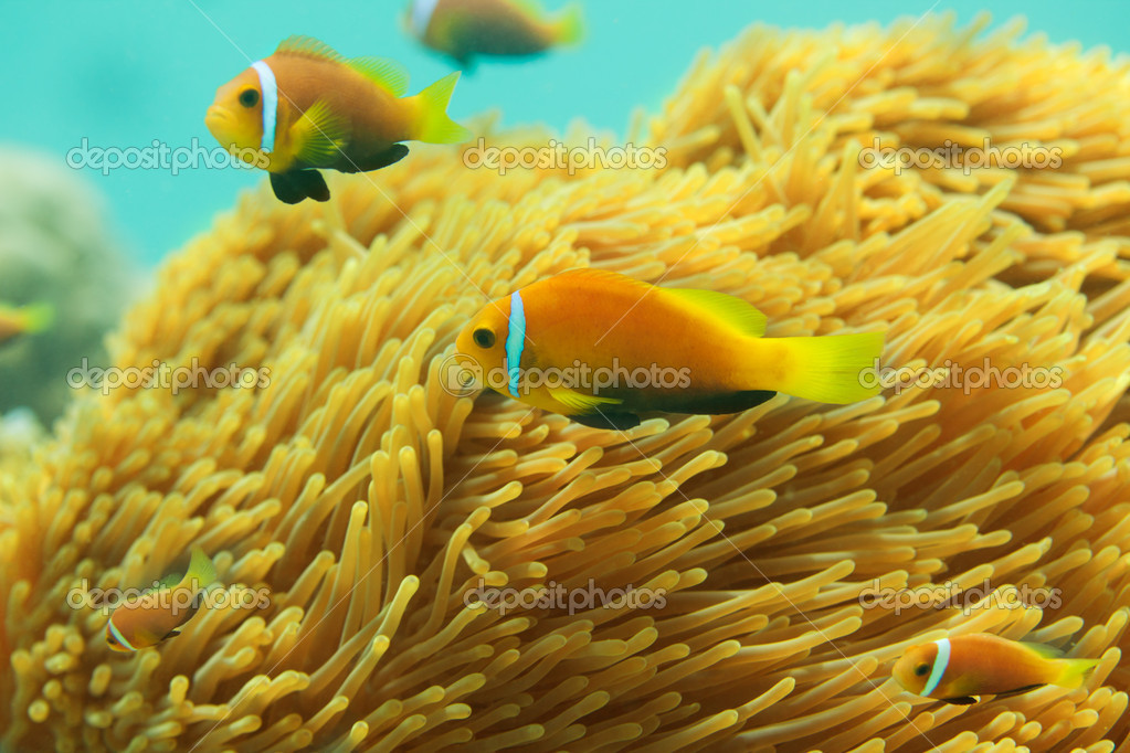 Beautiful clownfishes