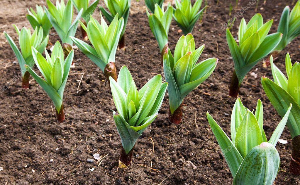 Planta de ajo fotos de stock ligora 10209732 for Aglio pianta