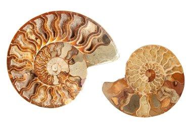 Two ammonites