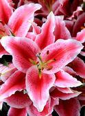 detail květu lilie