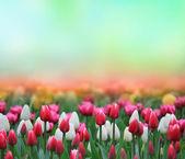 szép tulip háttér