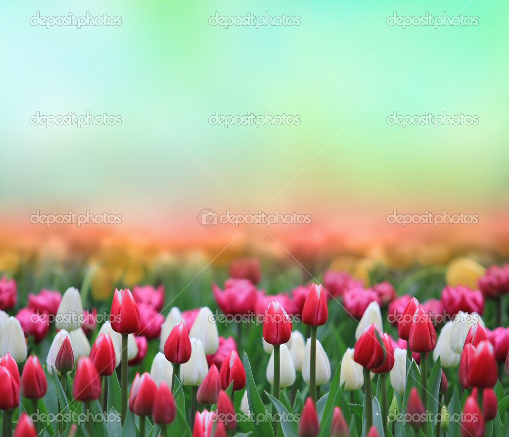 Beautiful tulip background