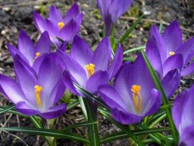 Crokus flowers