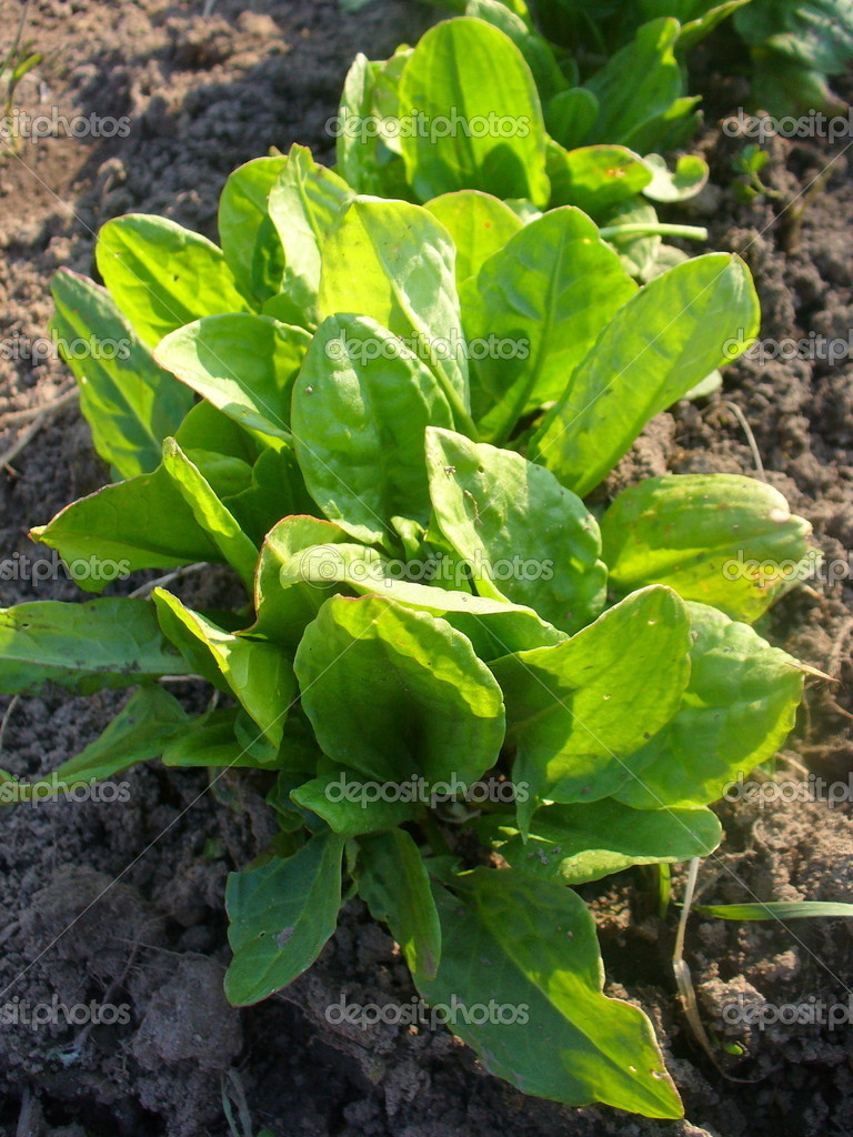 Fresh sorrel (Rumex) growing in a soil