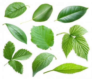 Collection of garden leaves on white background stock vector
