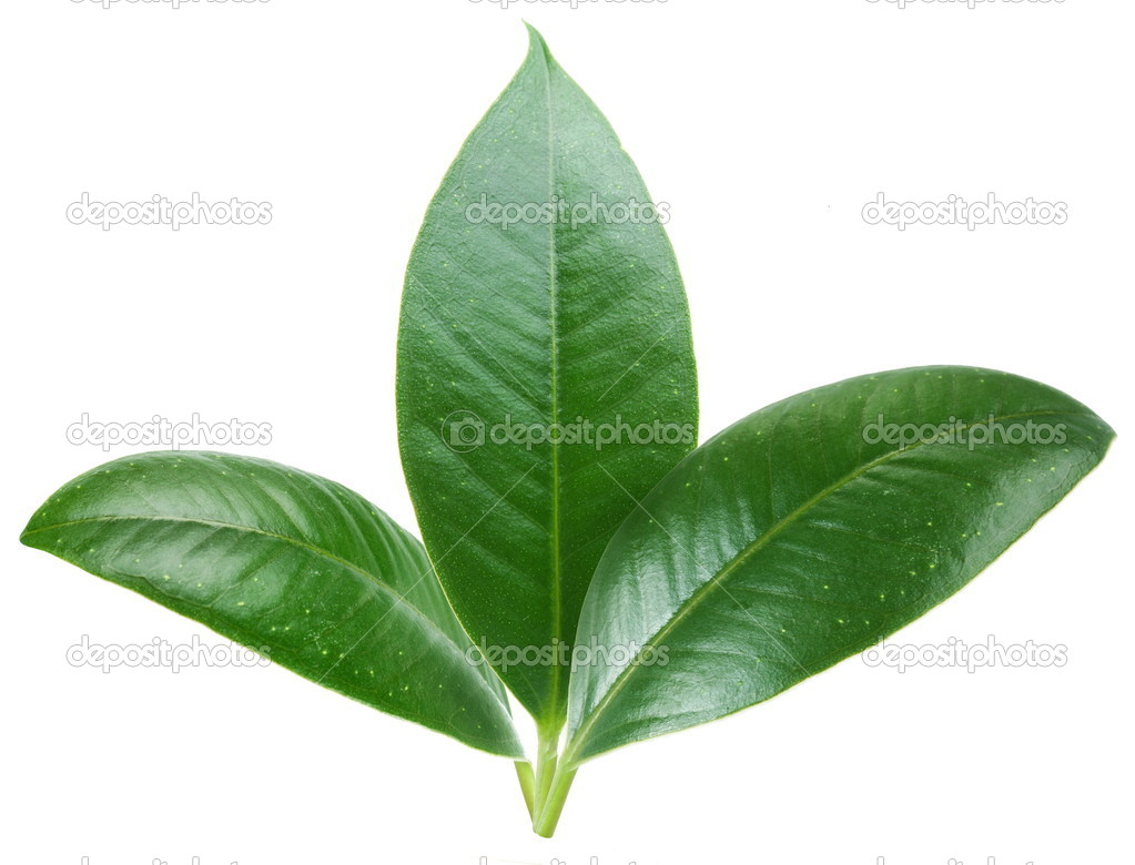 Three green leaf on white background.