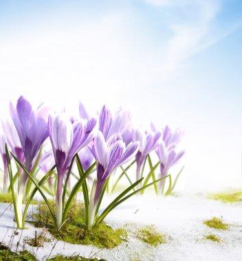 художественные весенние цветы шафрана в таянии снега