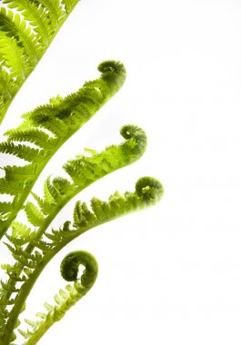 Art development. growing leaves of spring fern on a white backg