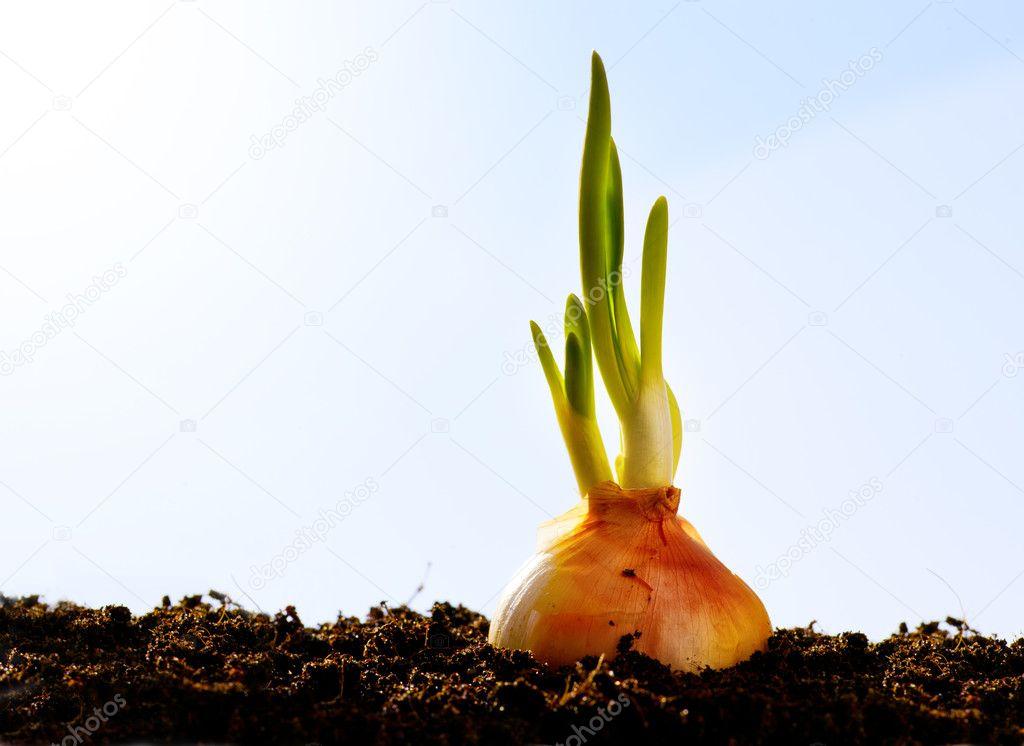Spring onion vegetables growing garden