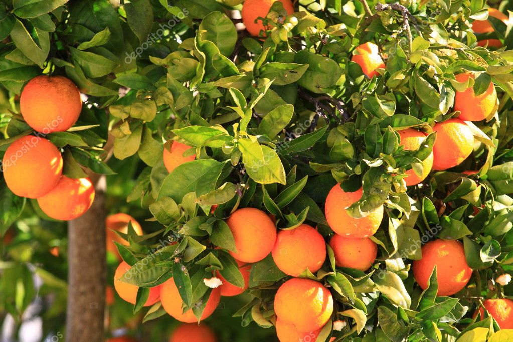 Orange tree over green tree in Ibiza.