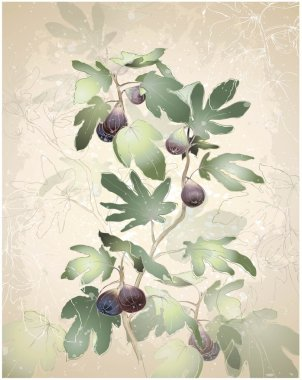 Detailed image of a bunch of figs on a tree. Figs in a fig tree.