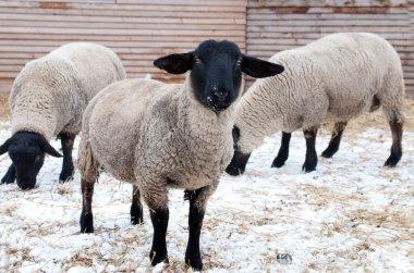 "Картина, постер, плакат, фотообои ""саффолкские овцы "", артикул 8307230"