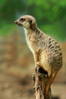 Meerkat on the watch out, outdoor shot stock vector