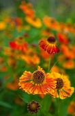 Daisy narancssárga ökör-szem
