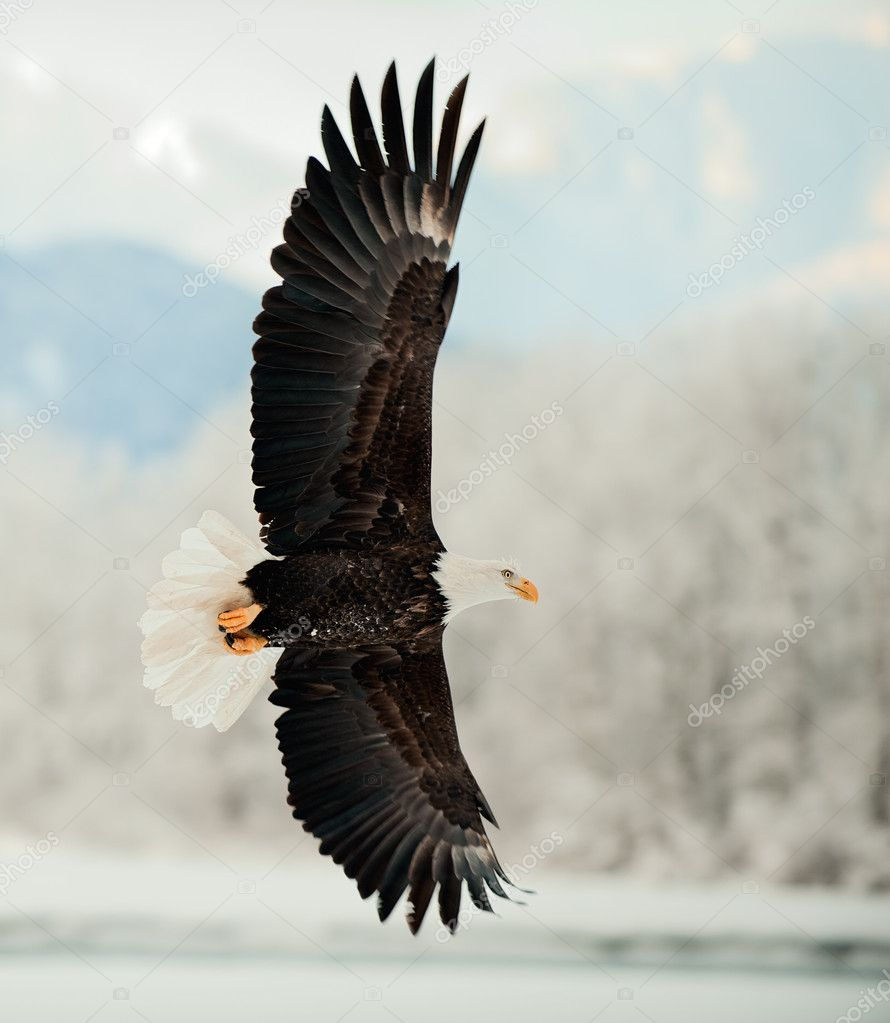Flying Bald Eagle.