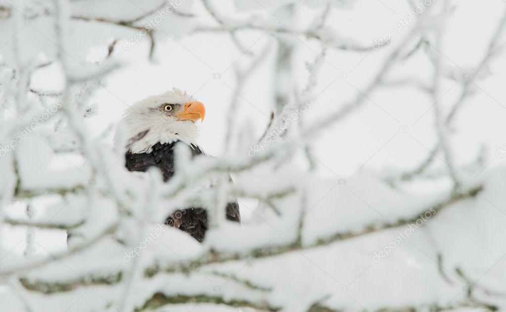 Bald eagle in snow branch