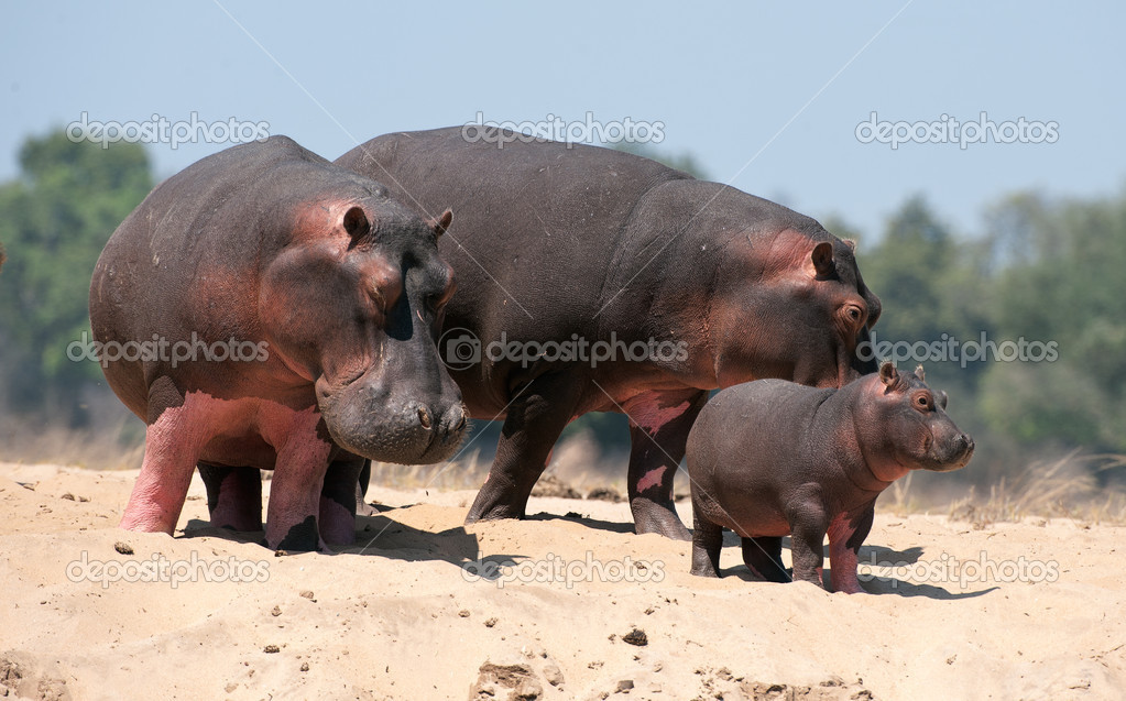 Family of hippopotamuses