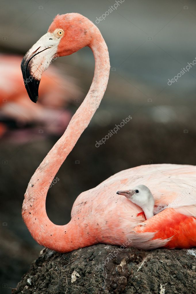Flamingo with a baby bird on a nest.