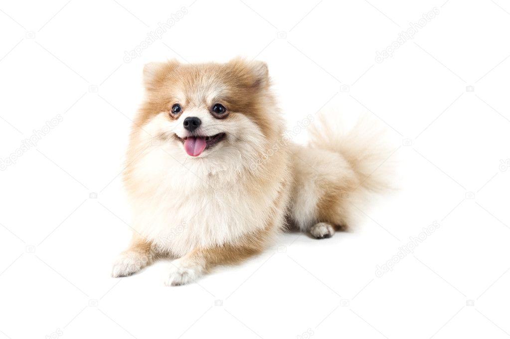 白でかわいいポメラニアン犬 \u2014 ストック写真 © a41cats 8354690