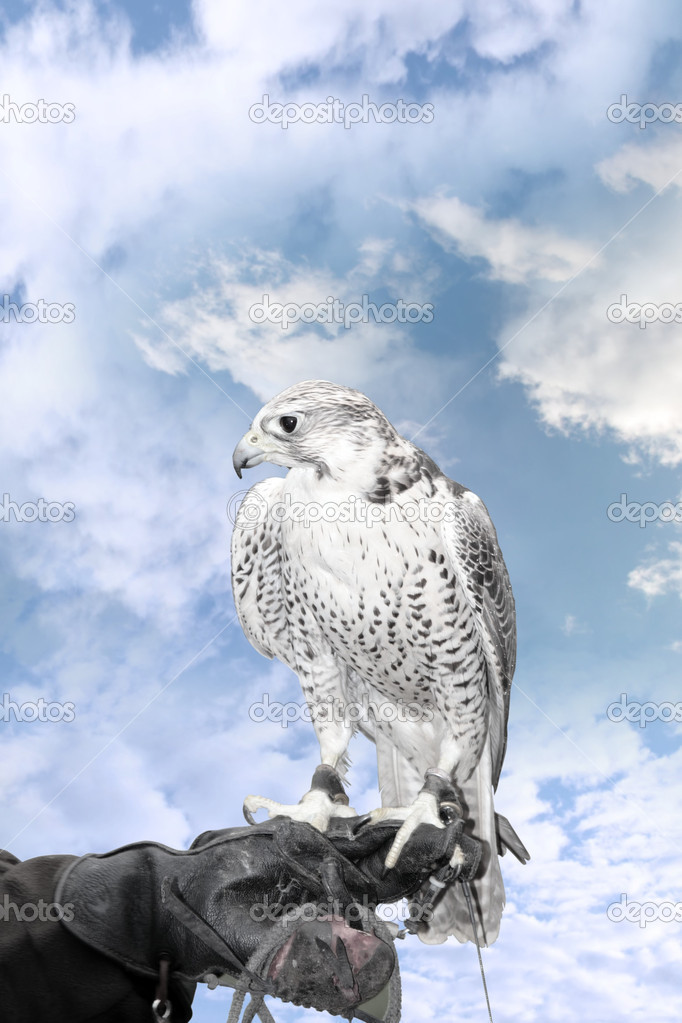 Falcon perched on trainers hand