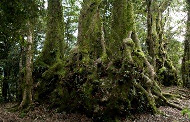 Nothofagus moorei or Antarctic Beech Trees