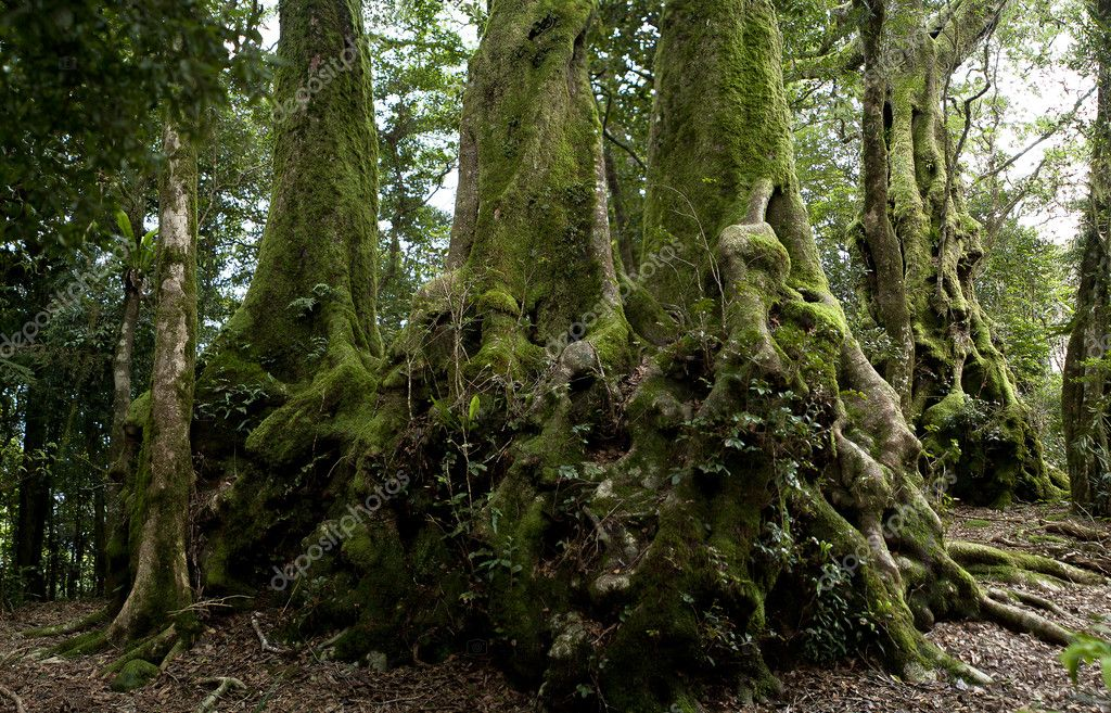 Nothofagus moorei or Antarctic Beech Trees