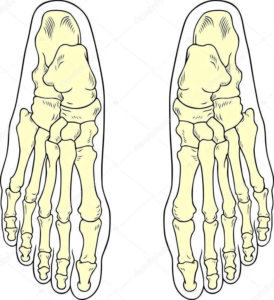 huesos del pie — Vector de stock © Den.Barbulat #10450241