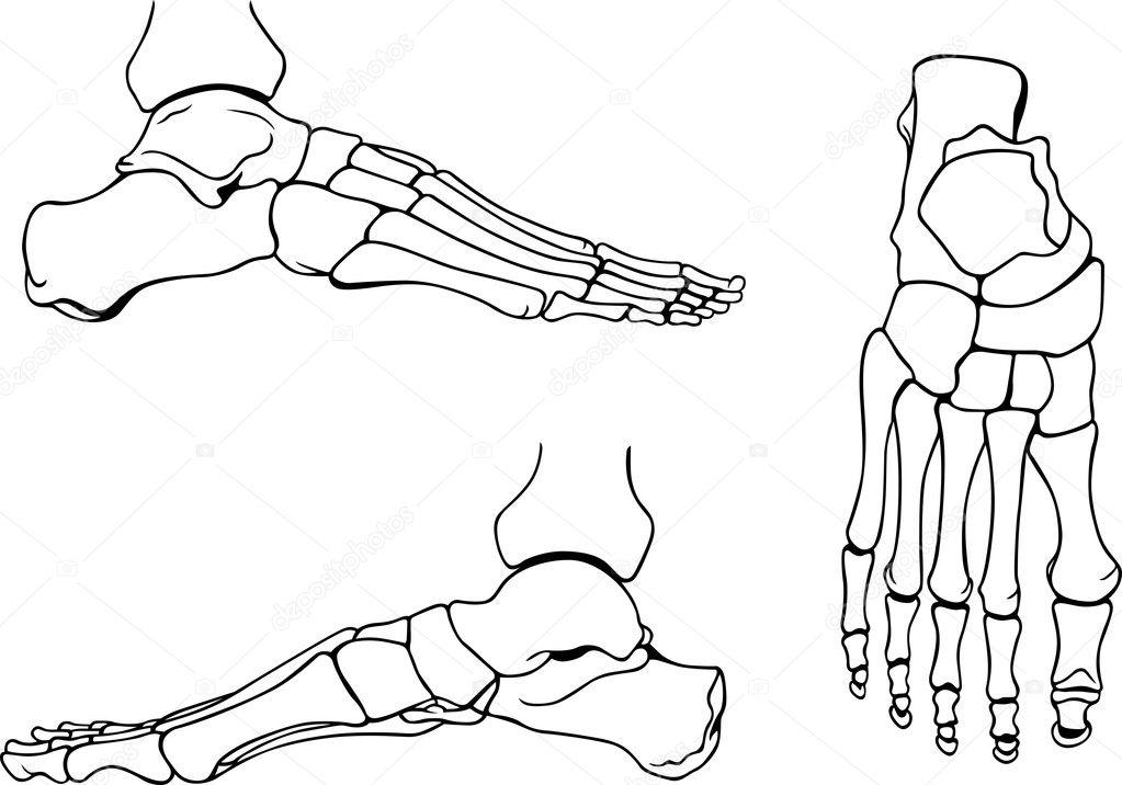 Fuss Knochen — Stockvektor © Den.Barbulat #10450268