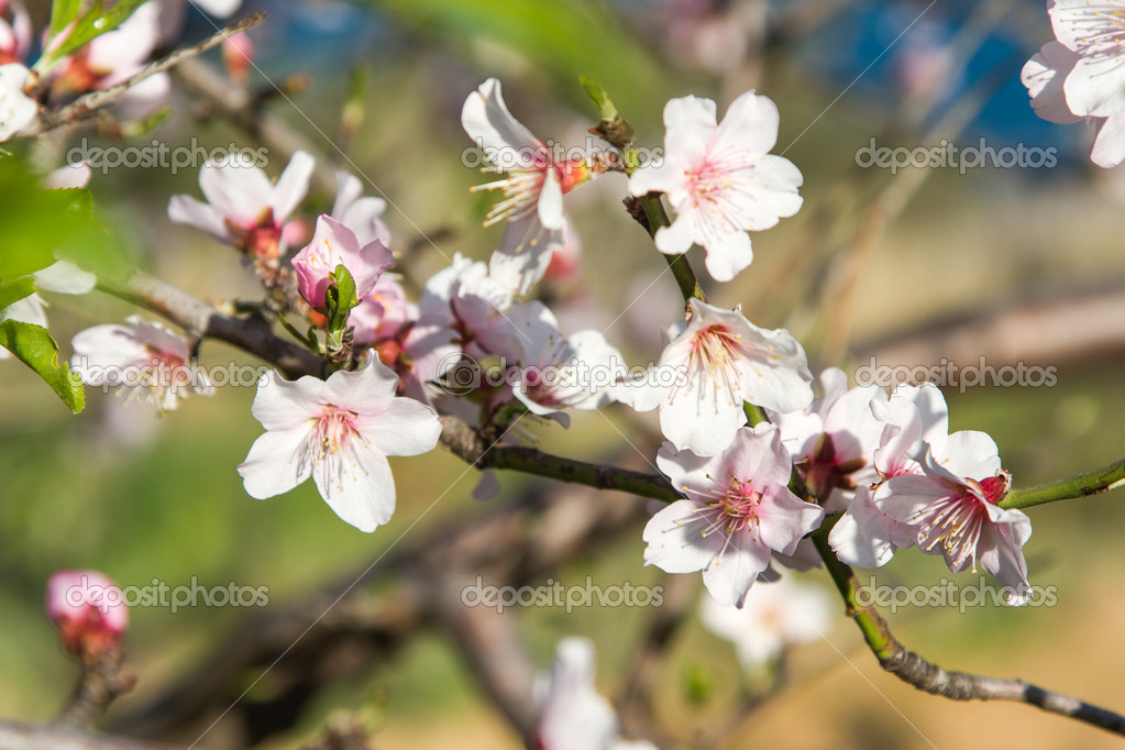 An almond tree with white flowers with branches