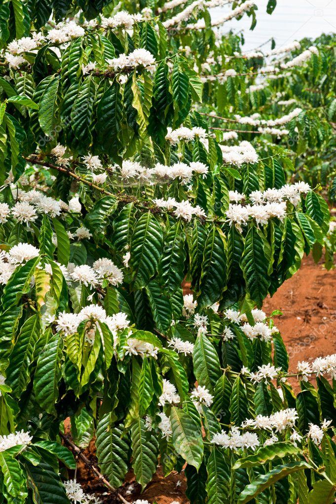 Coffee tree in blossom, Dalat, Vietnam