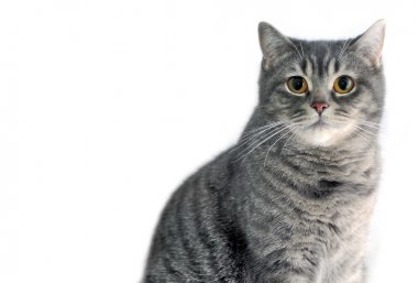 Gray tabby cat. Scottish straight.