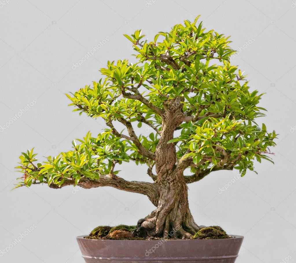 bonsai sempreverdi